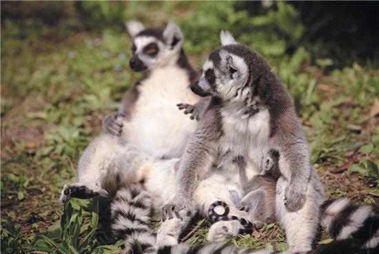 马达加斯加岛之精灵——狐猴(组图)