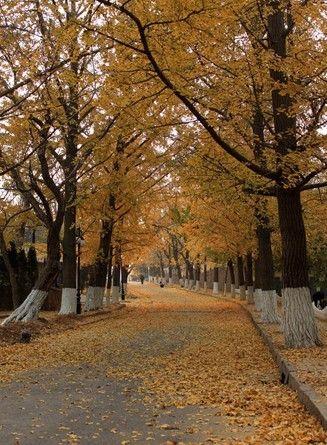 在青岛不期而遇最美行道树