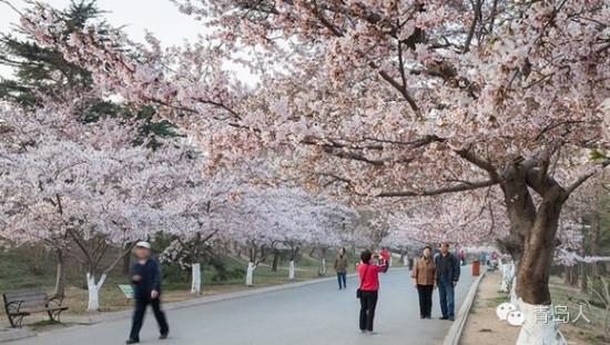 青岛八大关樱花